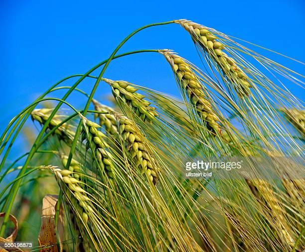 Reifende Gerstenähren im Getreidefeld