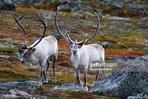 Antlers motif renne