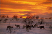 Reindeer At Sunset Lapland In Norway In 1999Winter pasture in the highlands in Kautokeino 750000 reindeer graze on pastures in Lapland 160000 are...
