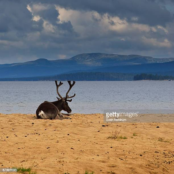 Reindeer At The Beach