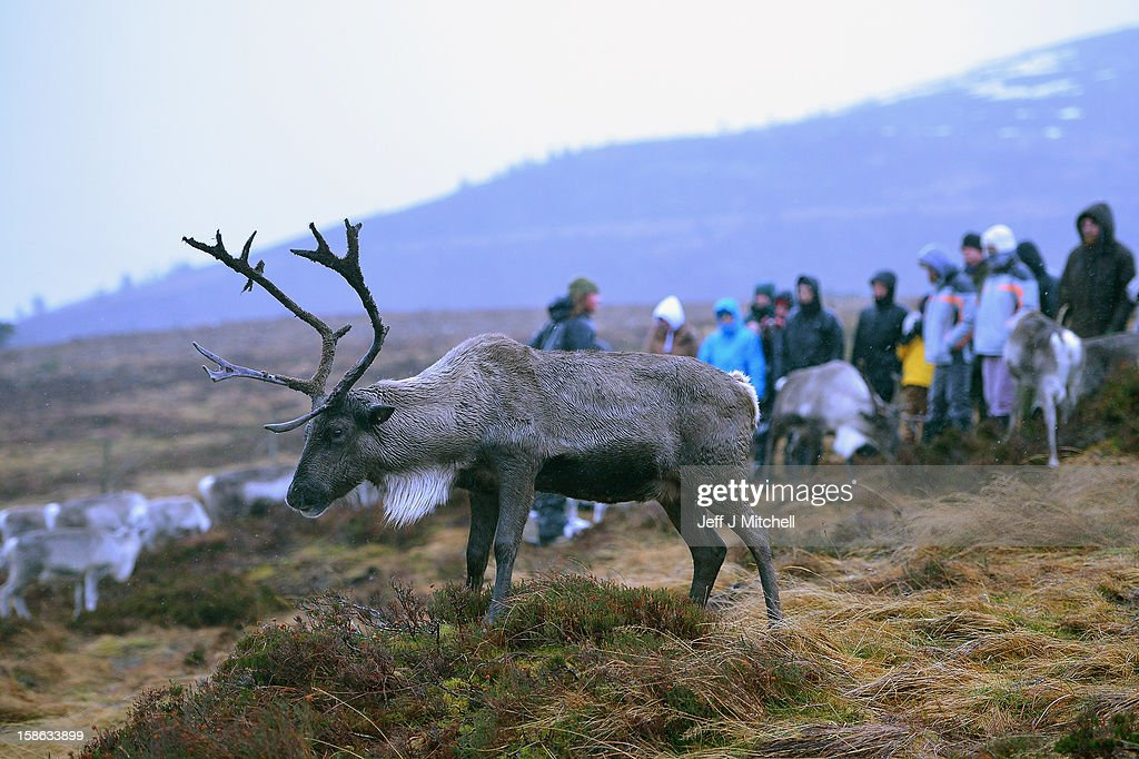 Reindeer at the Cairgorm Herd, are fed on December 22, 2012 in Aviemore, Scotland. Reindeer were introduced to Scotland in 1952 by Swedish Sami reindeer herder, Mikel Utsi. Starting with just a few reindeer; the herd has now grown in numbers over the years and is currently at about 130 by controlling the breeding. The herd rages on 2,500 hectares of hill ground between 450 and 1,309 meters and stay above the tree line all year round regardless of the weather conditions.