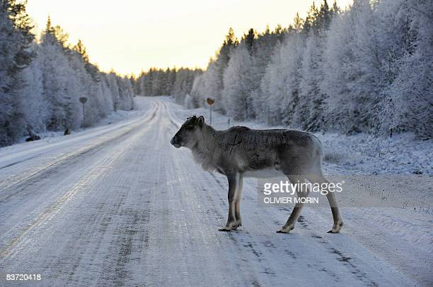 A reindeer crosses a snowy road near Torvinen on november 17 in Lapland early in the morning AFP PHOTO/ OLIVIER MORIN