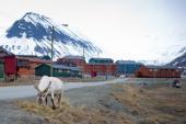 A reindeer eats in the streets of Longyearbyen on June 8 2010 AFP PHOTO/ MARTIN BUREAU