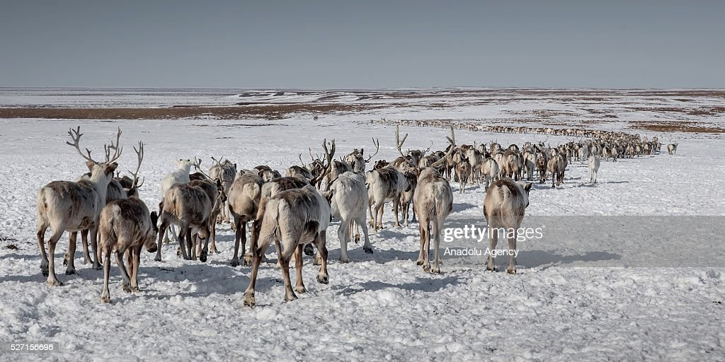 Reindeer flock is seen at Nomad camp, 150 km from the town of Salekhard, Yamalo-Nenets Autonomous Okrug in Russia on May 2, 2016.