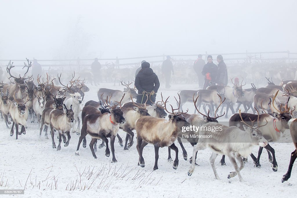 Reindeer gathering