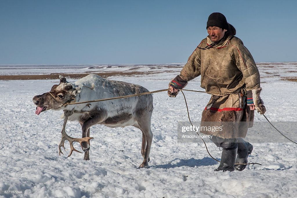 A reindeer herder catches a reindeer from its horn at Nomad camp, 150 km from the town of Salekhard, Yamalo-Nenets Autonomous Okrug in Russia on May 2, 2016.