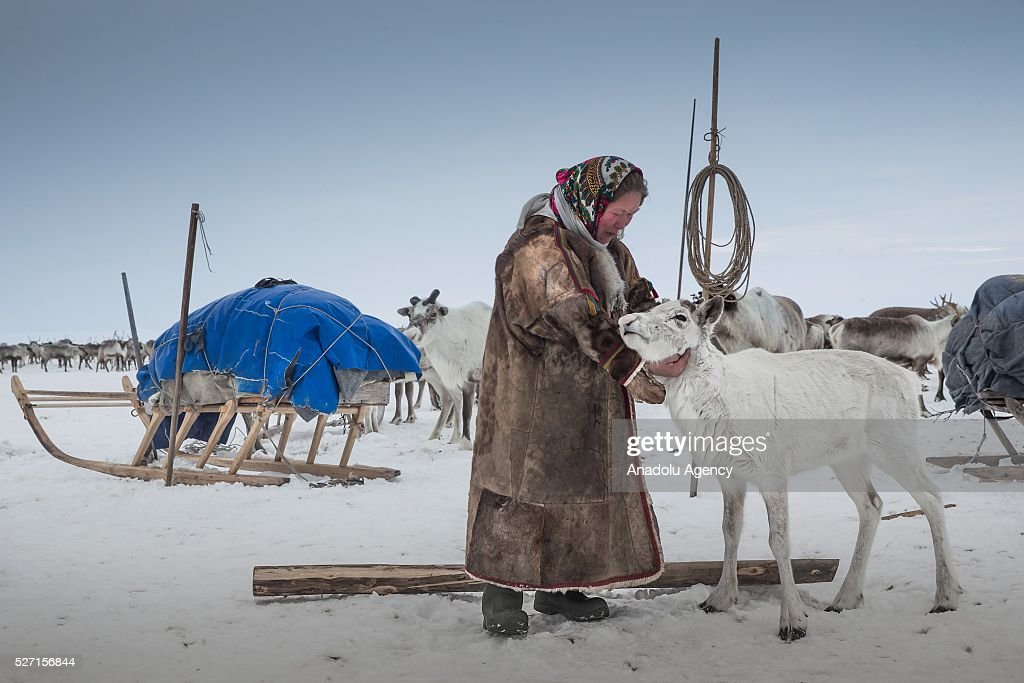 A reindeer herder fondles a reindeer at Nomad camp, 150 km from the town of Salekhard, Yamalo-Nenets Autonomous Okrug in Russia on May 2, 2016.