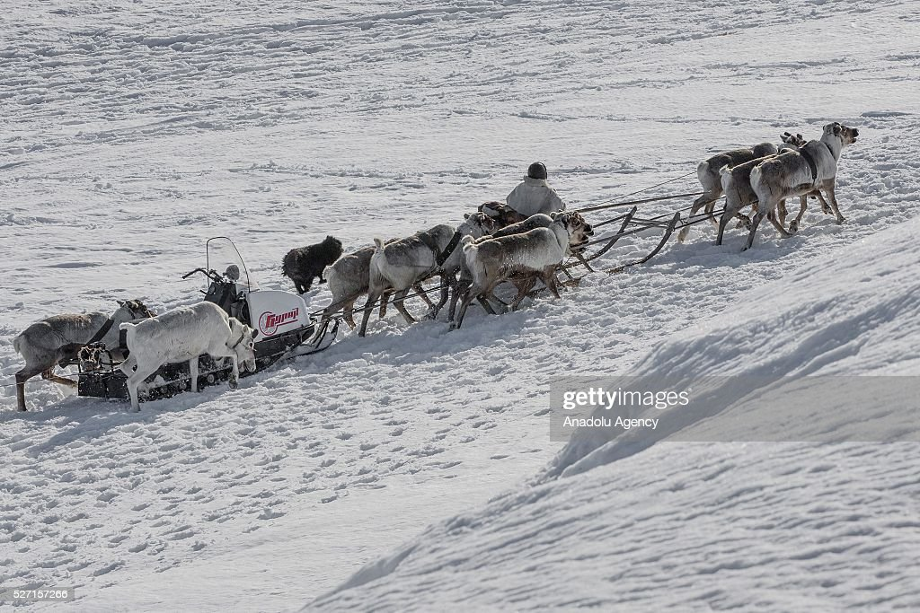 Reindeer herder rides a sled at Nomad camp, 150 km from the town of Salekhard, Yamalo-Nenets Autonomous Okrug in Russia on May 2, 2016.