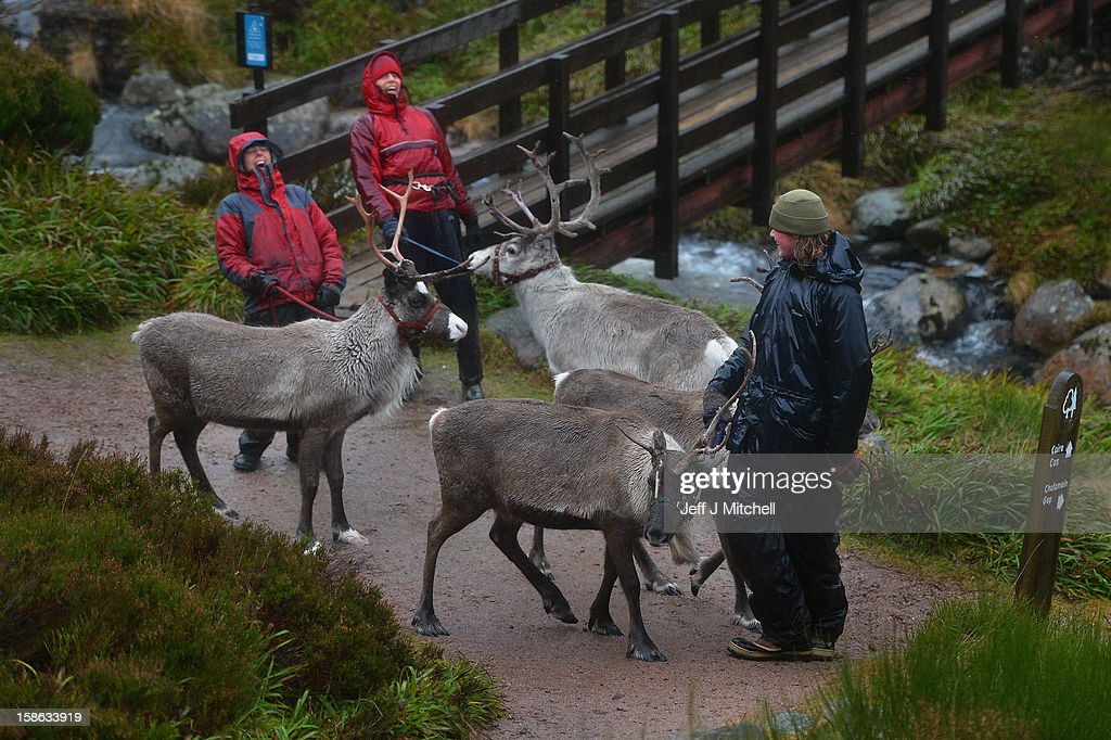 Reindeer herders ,Zac Brown, Melanie Gaff and Abi Evans walk with Reindeer from the Cairgorm Herd on December 22, 2012 in Aviemore, Scotland. Reindeer were introduced to Scotland in 1952 by Swedish Sami reindeer herder, Mikel Utsi.Starting with just a few reindeer, the herd has now grown in numbers over the years and is currently at about 130 by controlling the breeding. The herd rages on 2,500 hectares of hill ground between 450 and 1,309 meters and stay above the tree line all year round regardless of the weather conditions.