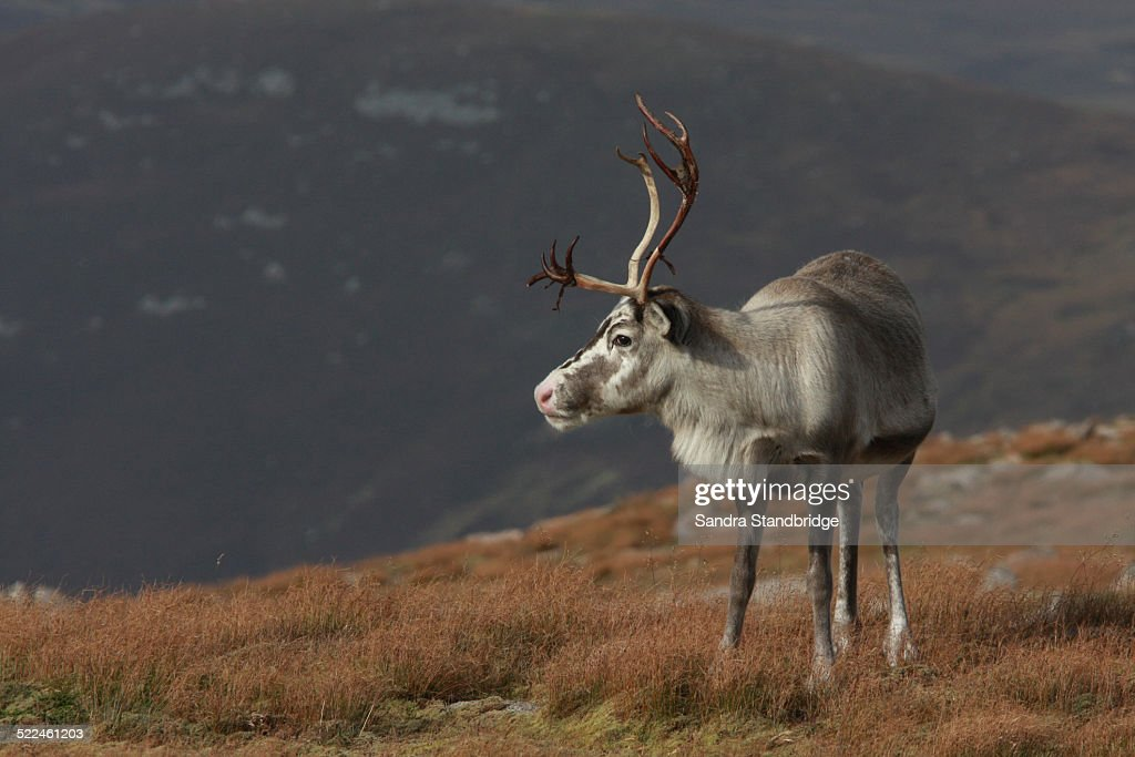 A Reindeer high in the Cairngorm mountains