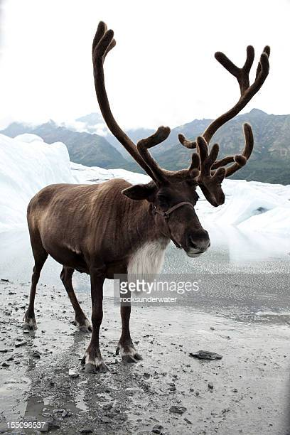 A reindeer next to some melting snow