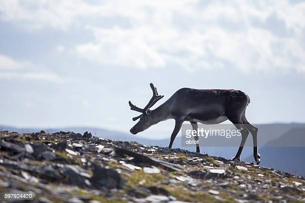 Reindeer, Nordkapp, Norway