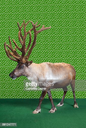 Reindeer on Carpet and Wallpaper
