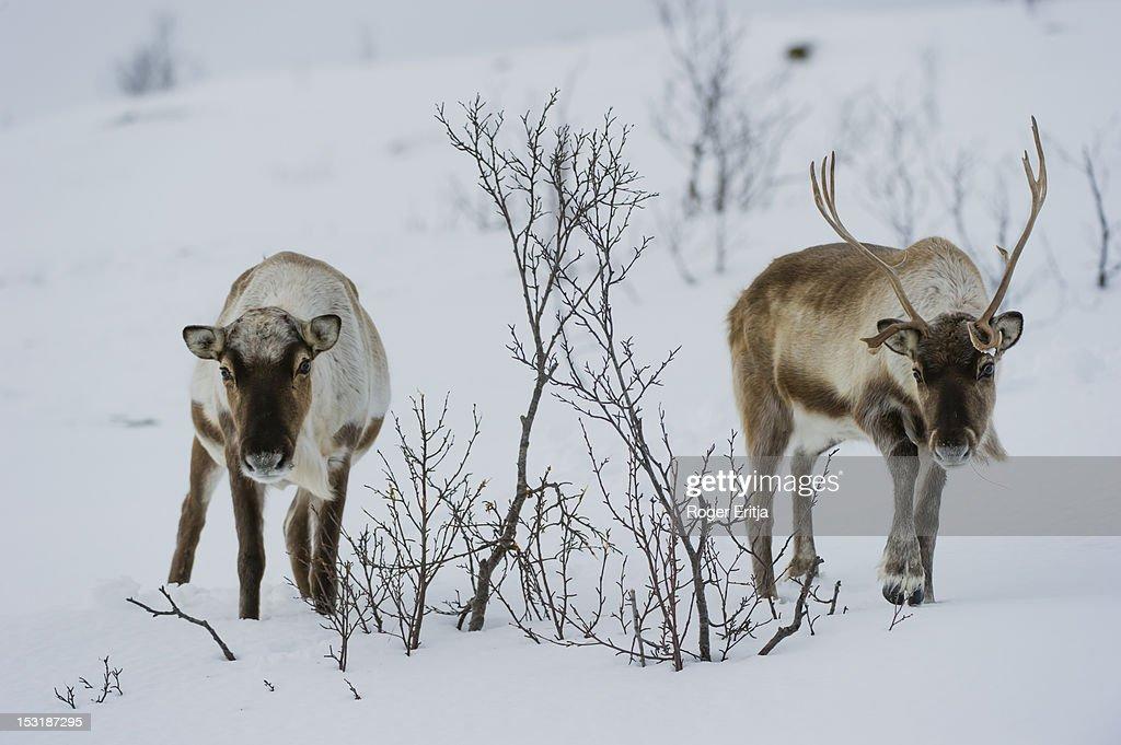 Reindeer on snow in winter, Norway : Stock Photo