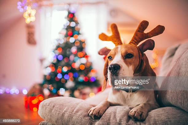 Rudolph the red-brutale beagle-Hund