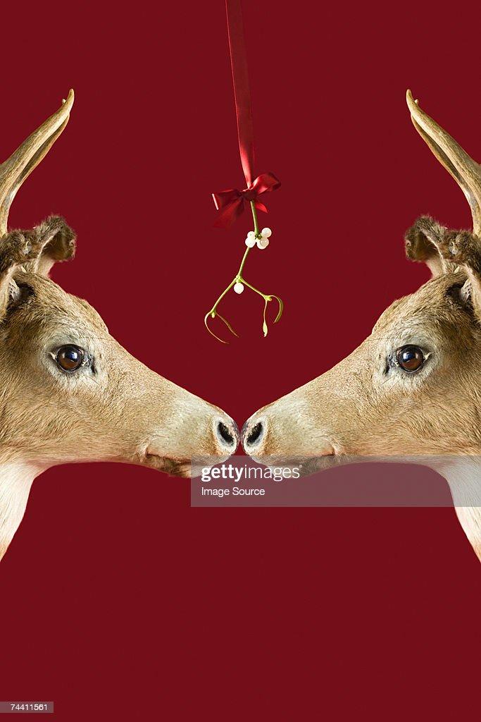 Reindeer underneath mistletoe