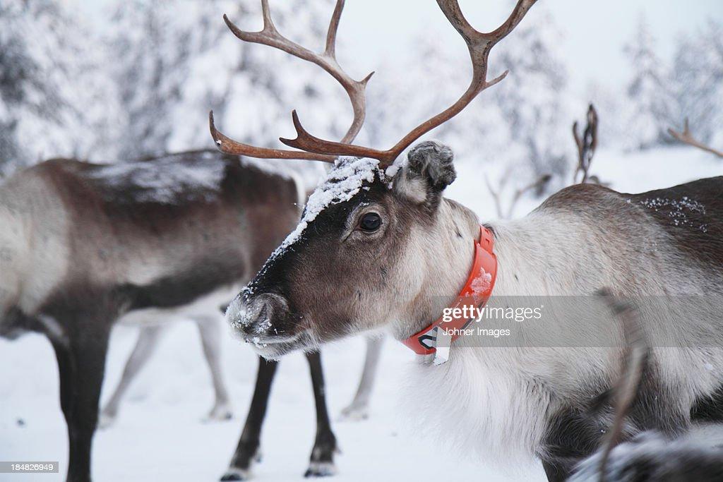 Reindeer wearing orange collar