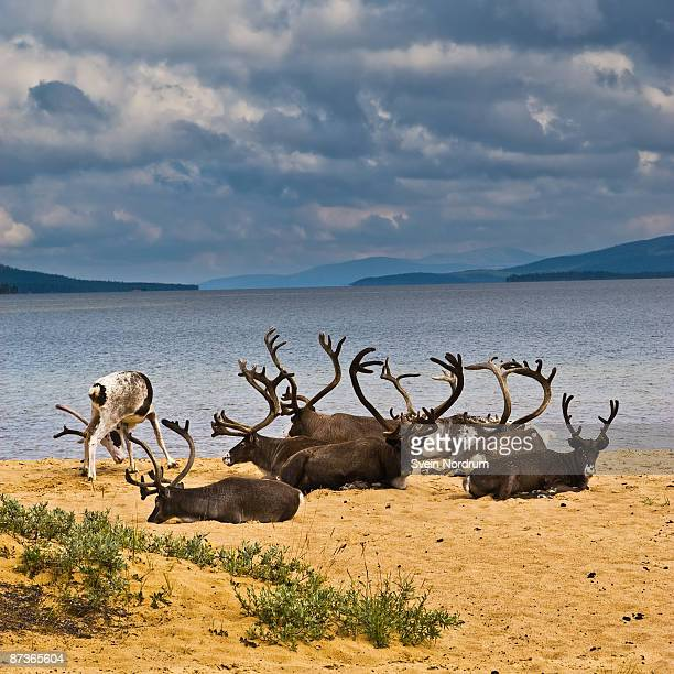 Reindeers at the beach