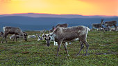 Reindeer flock photogarphed at the midnight in Northern Finland