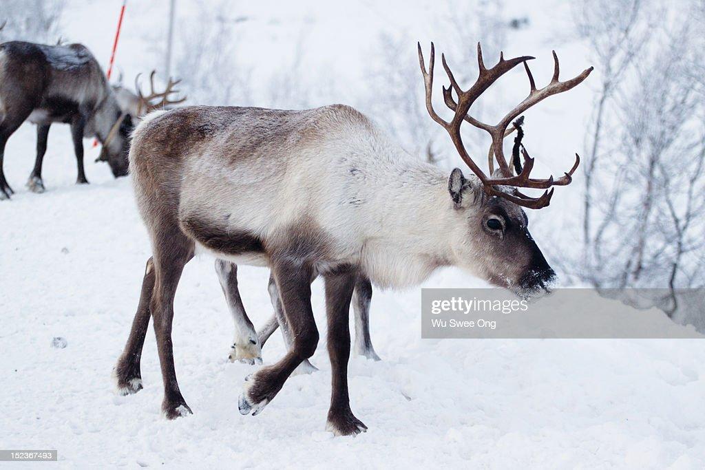 Reindeers in Norway : Stock Photo
