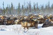 Reindeers migrate for a best grazing in the tundra nearby of polar circle in a cold winter day. Arctic region.