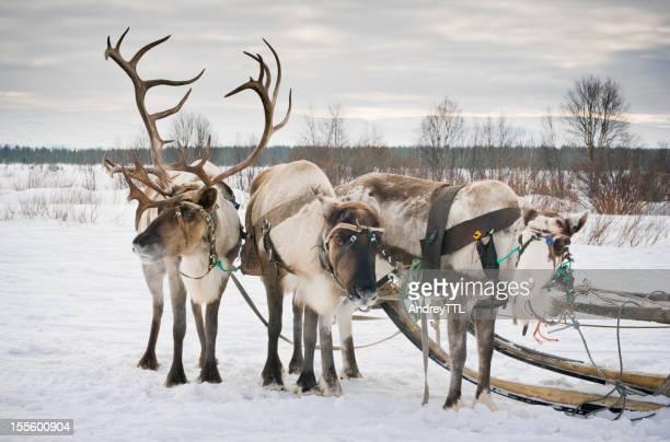 3 reindeers
