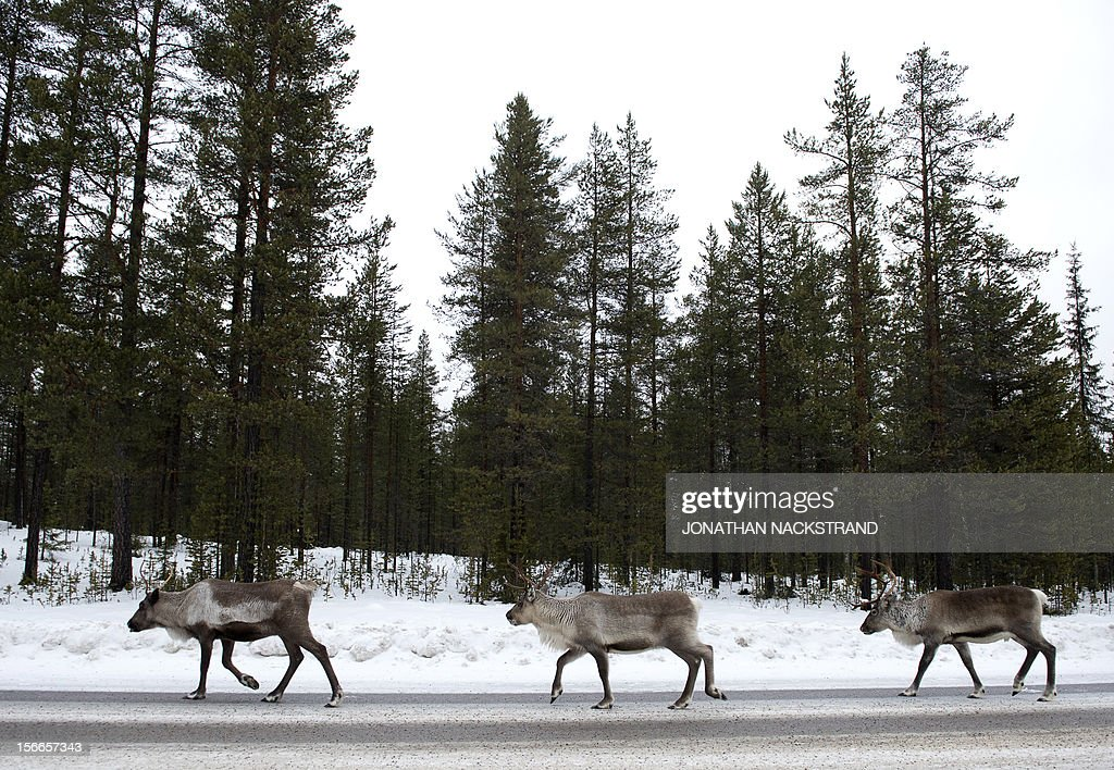 Reindeers search for salt on the E10 highway between Gallivare and Lulea in Swedish lapland on November 18 2012 AFP PHOTO/JONATHAN NACKSTRAND