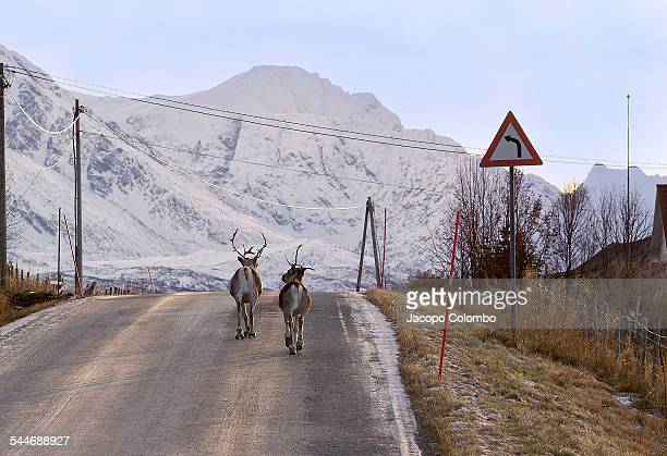 Reindeers walking away on the road