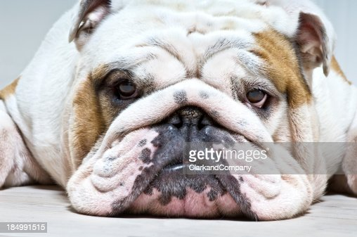 Relaxed British Bulldog With Houndog Expression