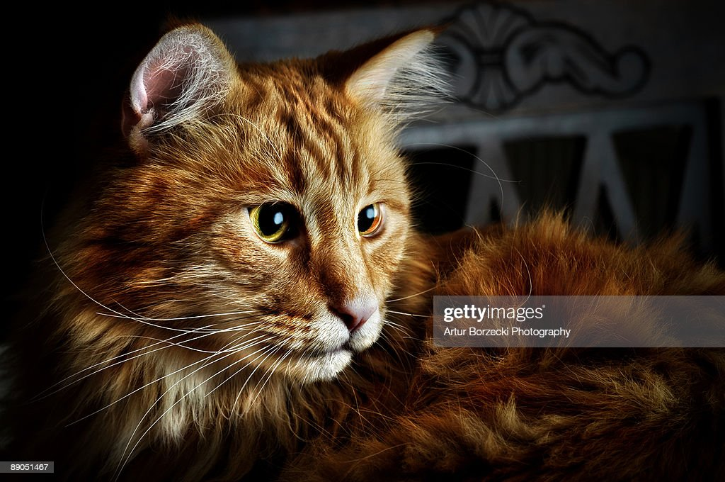 Relaxed Maincoon : Stock Photo