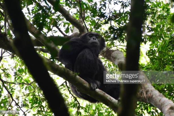 Relaxed male Common Chimpanzee sitting on a branch on a tall tree.