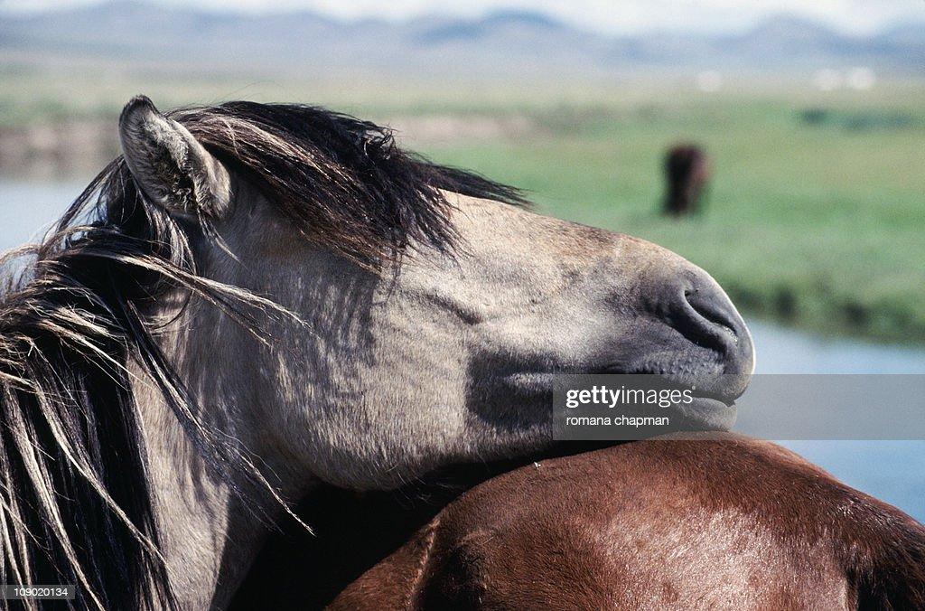 Relaxed przewalski horse