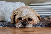 Very relaxed fenail Shih Tzu, laying on her dog rug.  Eys open brown and white fur.