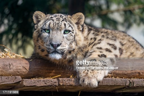 Relaxed young snow leopard