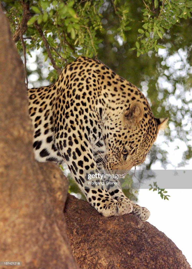 Relaxing leopard on a mashatu tree