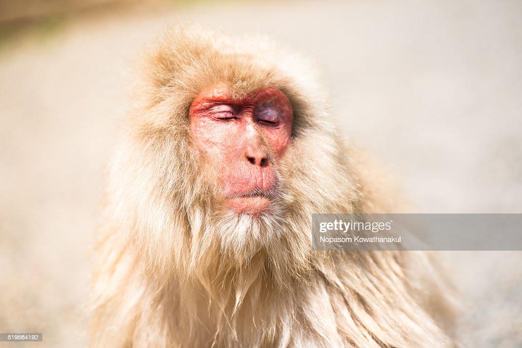 Relaxing snow monkey