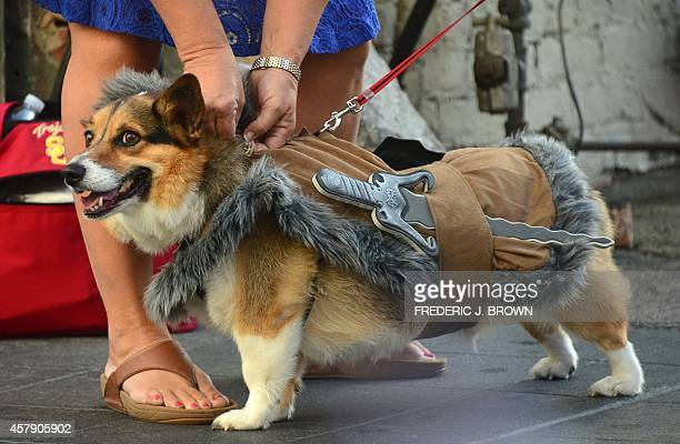Rembroke Corgi Louie dressed as 'Raganar the Viking' awaits the start as pet owners take their dogs dressed in Halloween costumes for a walk in the...