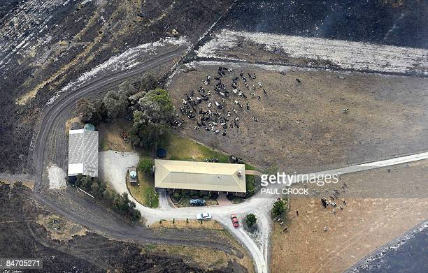 Remnants of a dairy herd shelter near a farmhouse after surviving a terrifying wildfire which burnt out thousands of hectares of farmland and...