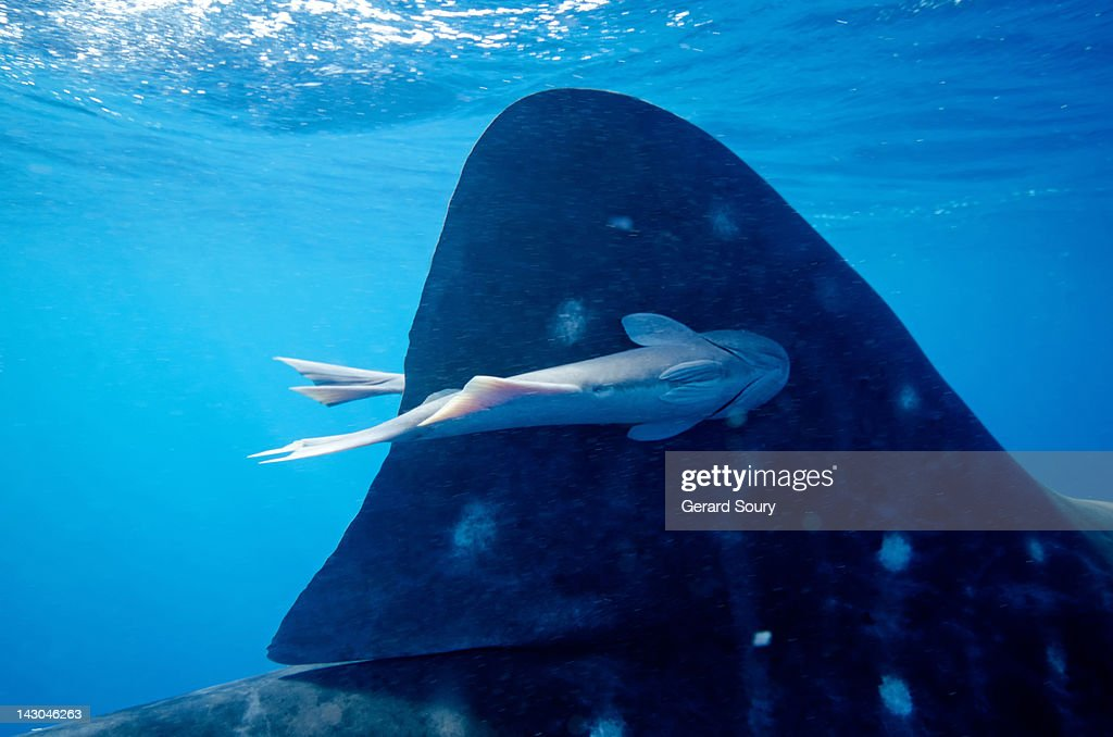 Remora stuck on a Whale Shark dorsal fin : Stock Photo