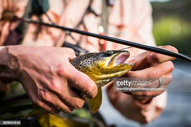 Removing hook from rainbow trout