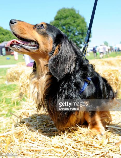 Remus the miniature long haired Dachshund attends DogFest north hosted by Supervet Professor Noel Fitzpatrick at Arley Hall on June 18 2017 in...