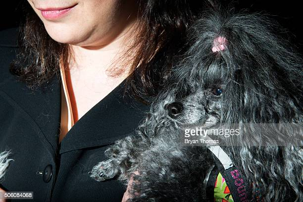 Rena Barnett holds Phoebe a Toy Poodle following the announcement that the Westminster Dog Show would introduce seven new dog breeds into the annual...