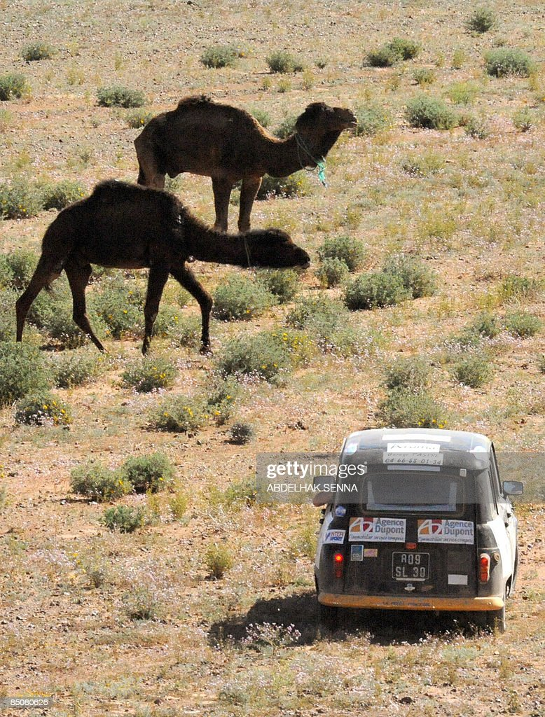A Renault 4L passes camels as it traverses the desert during a stage from Boudnib to Merzouga of the 12th edition of the '4L trophy' on February 24, 2009 near Merzouga. The 4L trophy is a race exclusively for students and takes place in the Moroccan dessert.