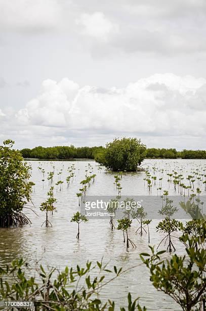 Replantation de mangroves