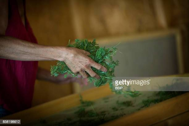 Reportage Bauges mountains Savoie France Organic and Medicinal Plant Production Putting plants in dehumidifier to extract water preserving their...