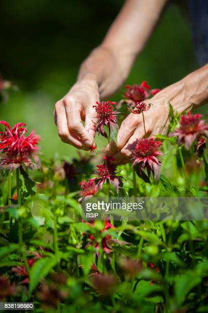 Reportage Bauges mountains Savoie France Organic and Medicinal Plant Production Picking Bergamot leaves contain Thymeol an antiseptic applied to...