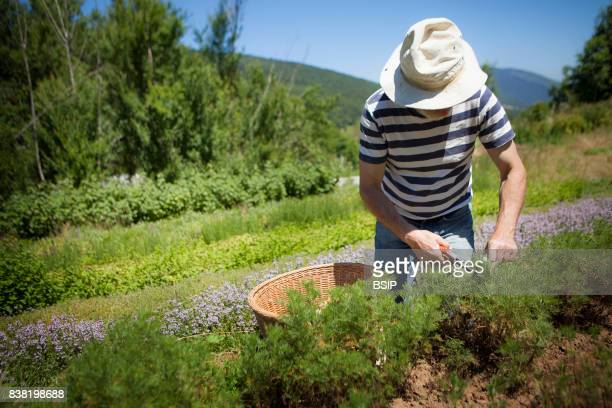 Reportage Bauges mountains Savoie France Organic and Medicinal Plant Production Southern wormwood is known to be a dewormer and an insecticide also...