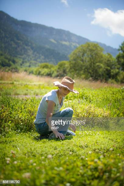 Reportage Bauges mountains Savoie France Organic and Medicinal Plant Production Picking wild Thyme an antiseptic stomachic expectorant and...