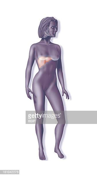 Representation Of A Woman Silhouette Localisation Of The Liver Organ Of Red Corpuscles Recycling