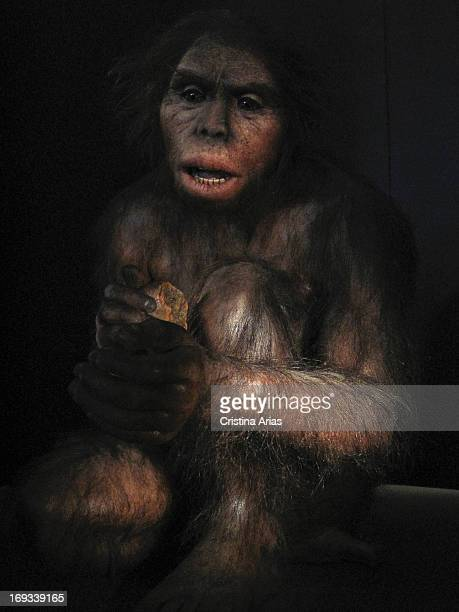 Reproduction of Homo Habilis in the Hall Of Hominids in the Museum of Human Evolution in hyperrealistic style by the French specialist Elisabeth...